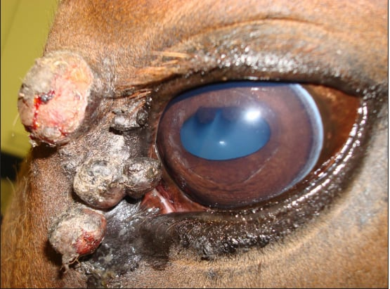 Eye Tumors in Horses – The Horse