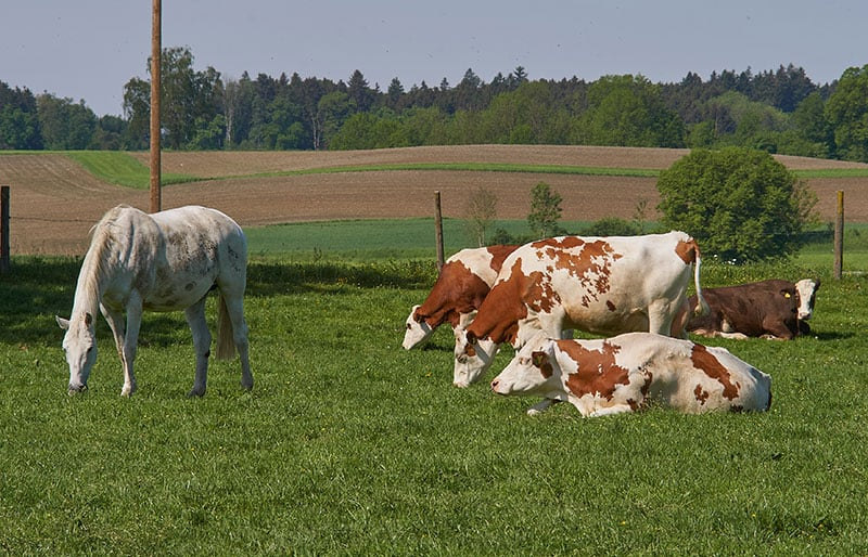 Can Horses and Cattle Eat the Same Feed? – The Horse