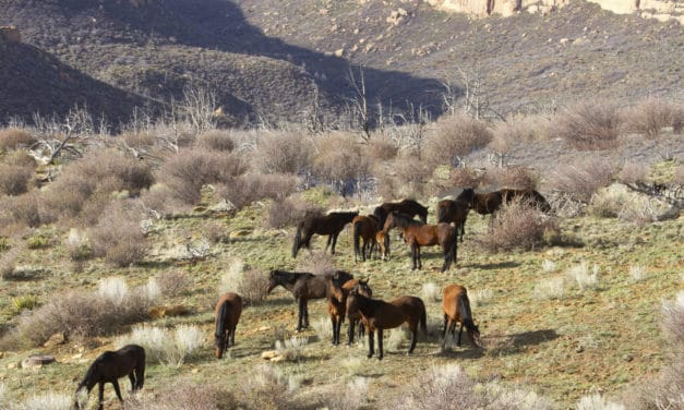 BLM Tests Fertility Drug to Control Wild Herd Growth