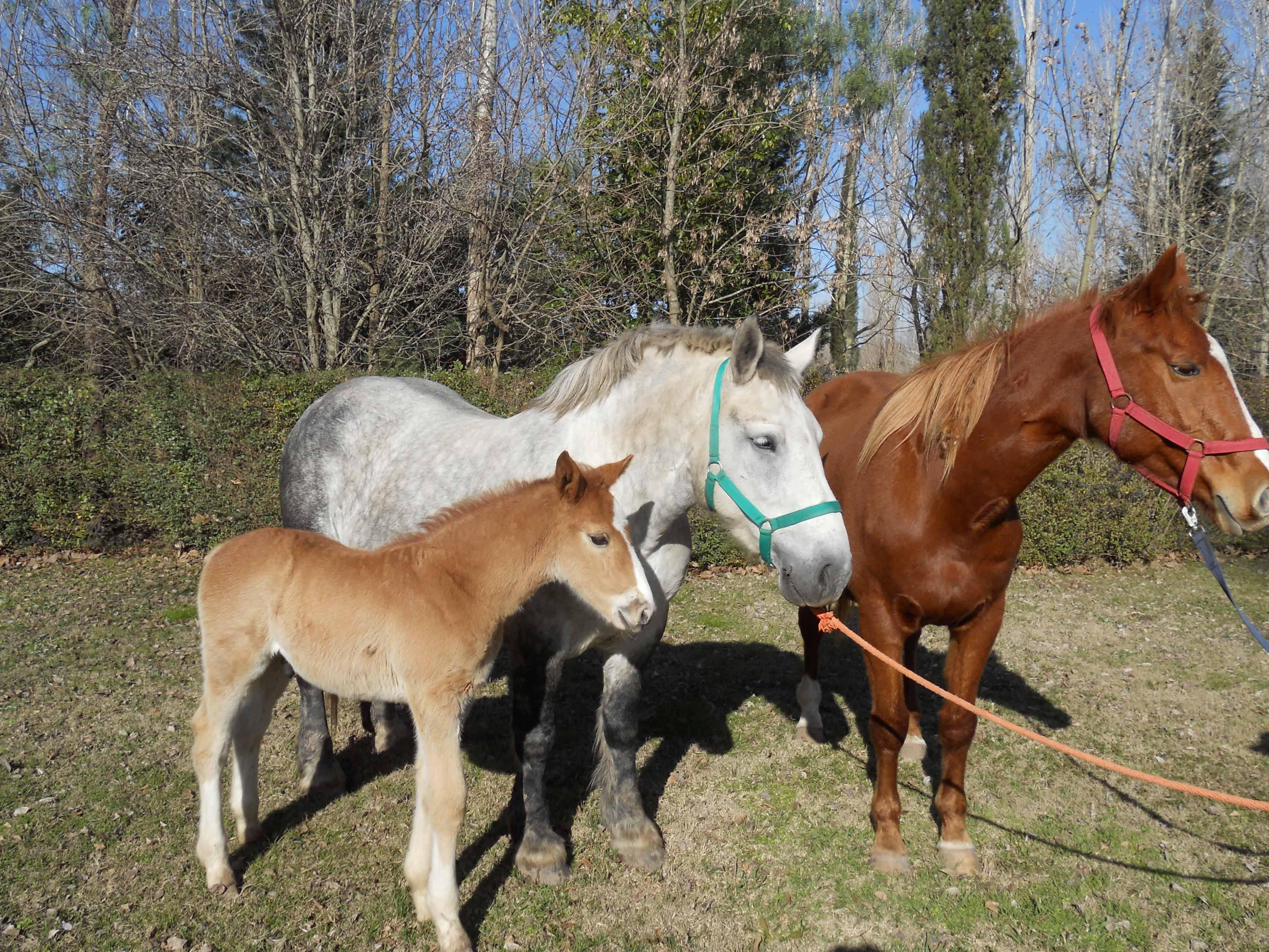 reFSH for horse breeding
