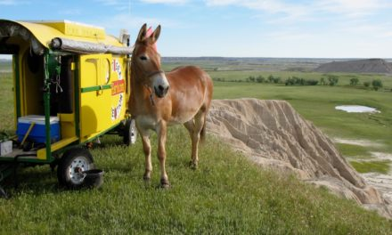 Polly the Mule's Cross-Country Journey: Health and Welfare Considerations