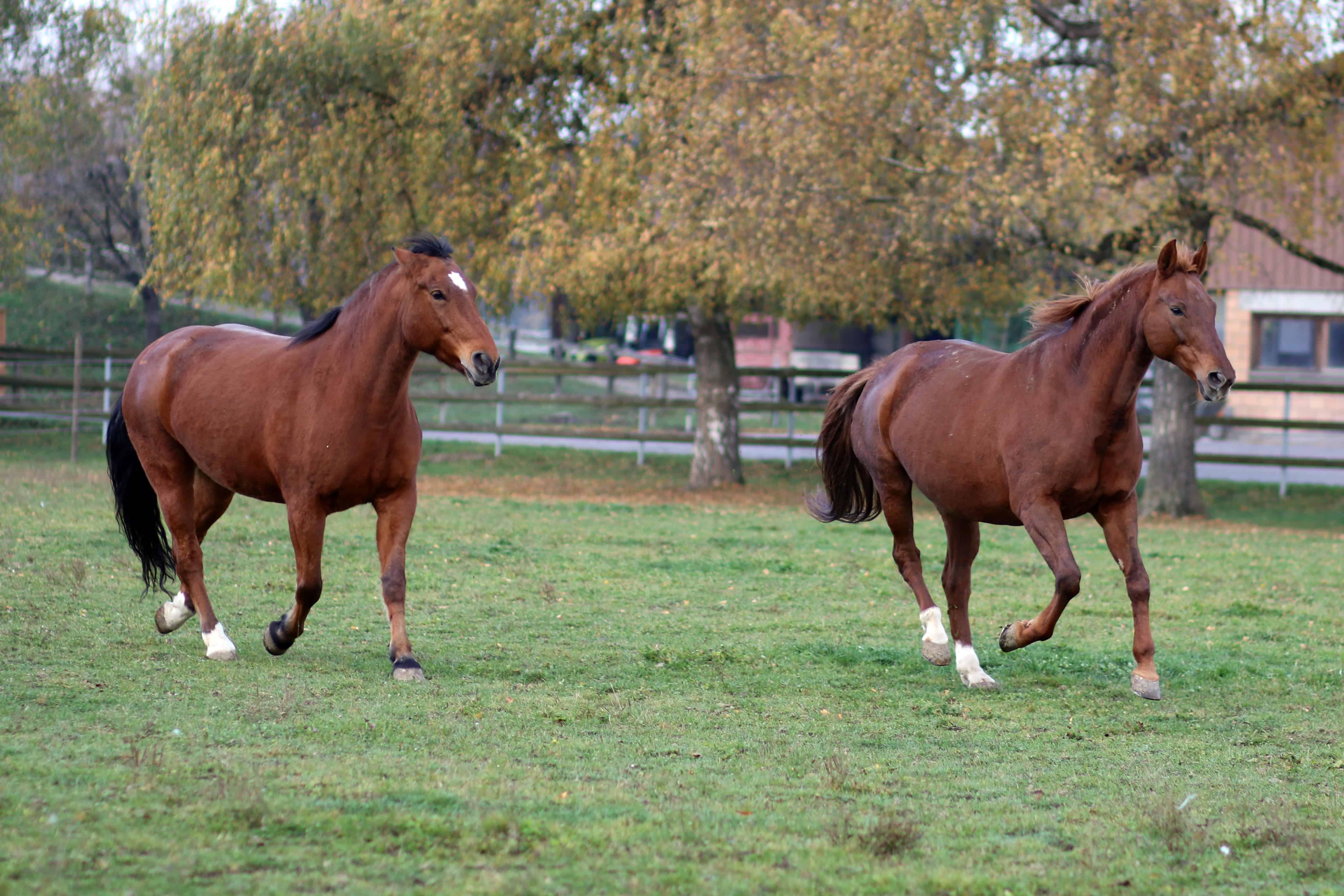 Horse Hierarchy