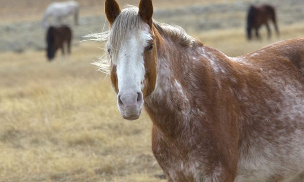 Preservation of Rare Horse Breeds