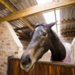 Study: Off-Schedule Feeding Compromises Horse Welfare