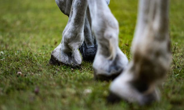 Tendon Problems in Old Horses: What Goes Wrong?