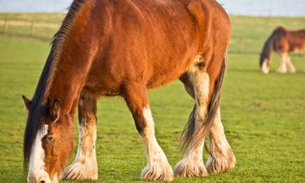 Feed the Breed: Consider Breed, Type When Designing Equine Diets