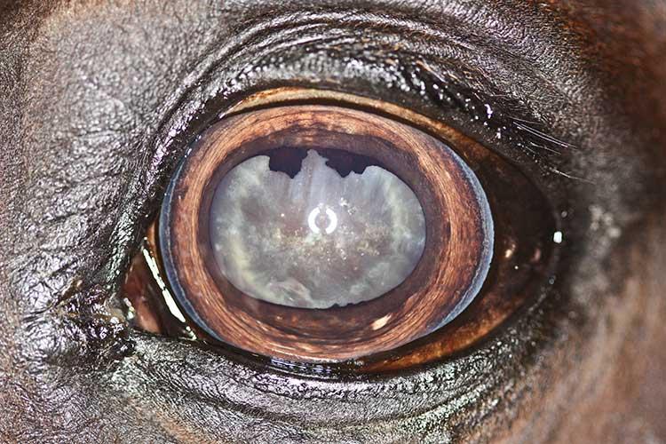 Lidar com a deterioração da visão em cavalos