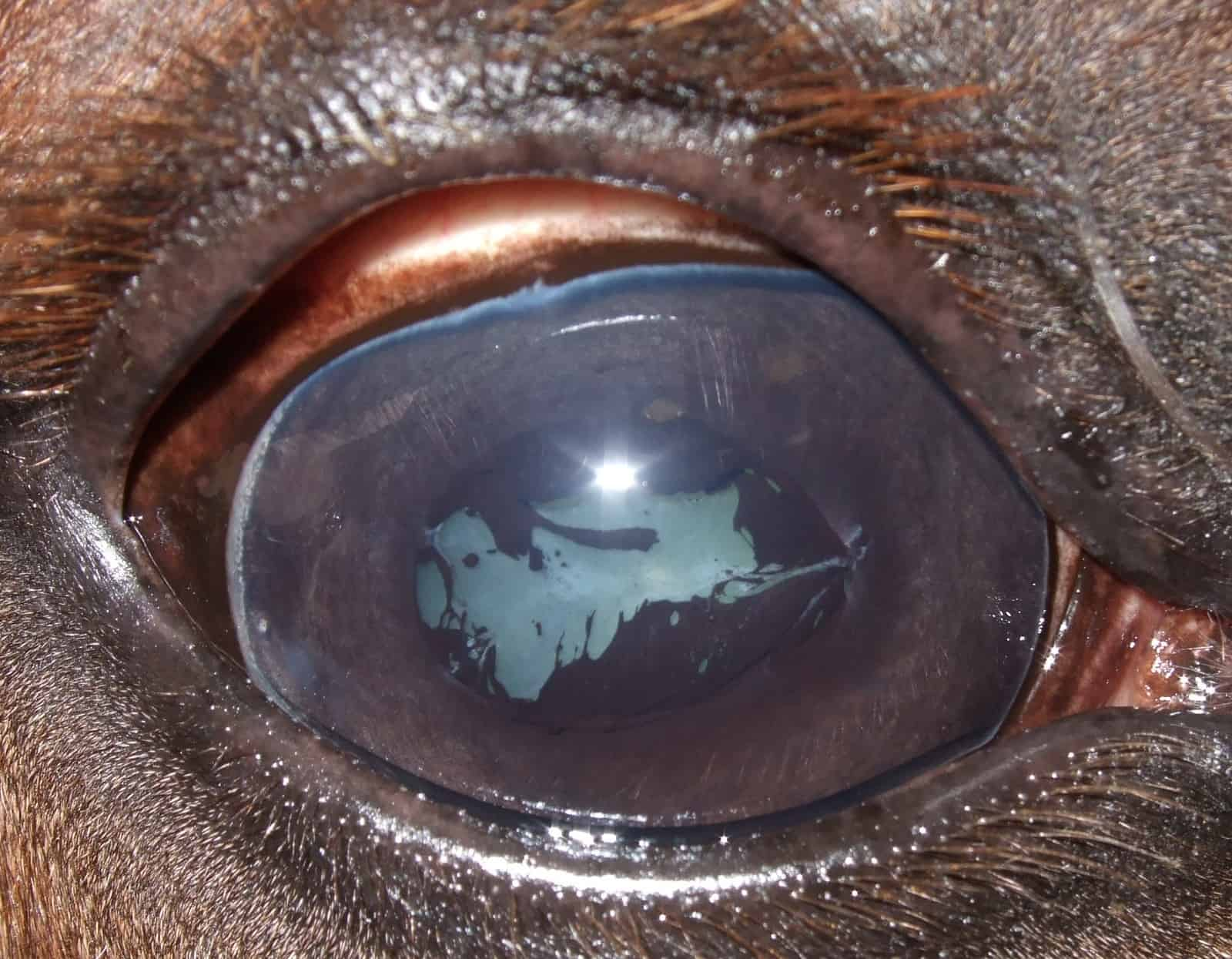 Equine Recurrent Uveitis: The Latest – The Horse