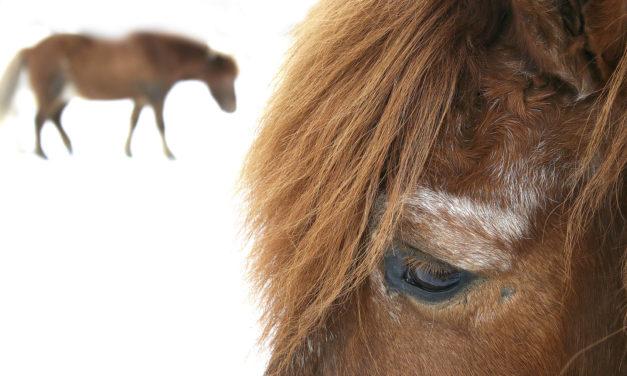 Study: Most Senior Horses Have Eye Problems