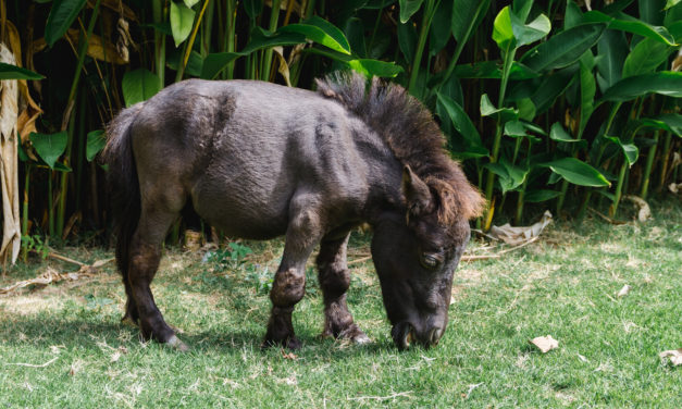 Dwarfism in Miniature Horses: New Study Published