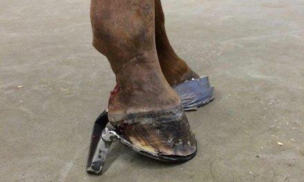 Navicular Bursitis in Horses: Improving Outcomes