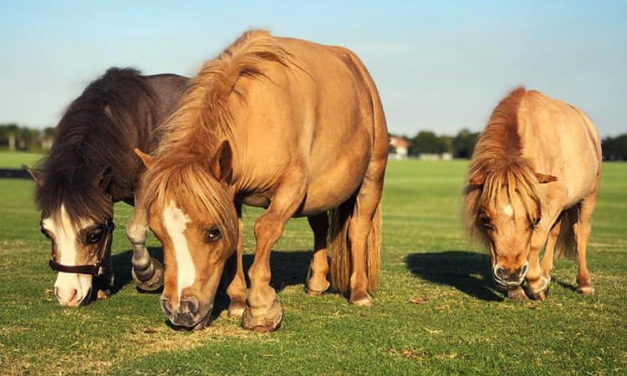 The Genetic Mutations Behind Dwarfism in Horses