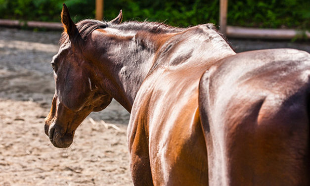 Bulking Up: Does Your Horse Need to Gain Weight, Muscle, or Both?