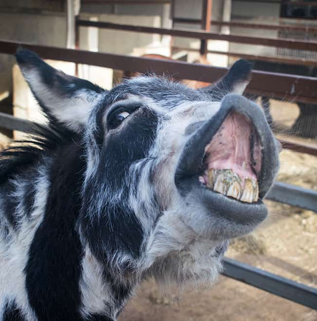Long in the Ears: Caring for Mules and Donkeys as they Age