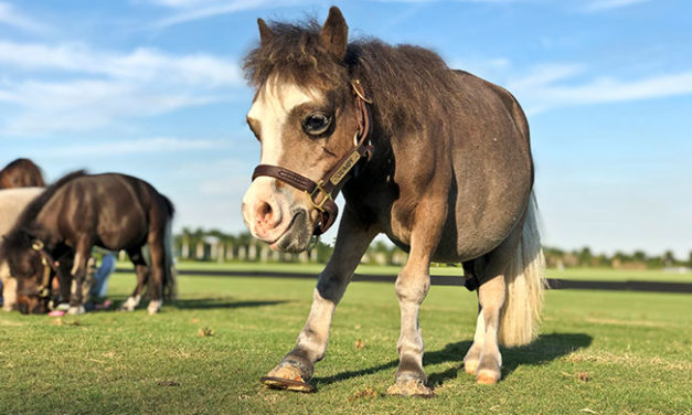Equine Dwarfism: Not a Small Problem