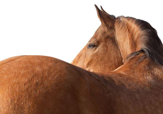CONTEÚDO RELACIONADO: Pescoço e dor nas costas em cavalos (Podcast)