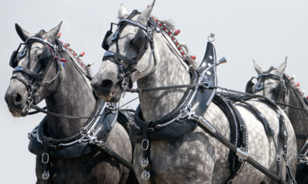 Draft Horses Have Complex, Uncommon Respiratory Issues
