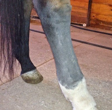 Cellulitis in Horses: Causes and Treatment