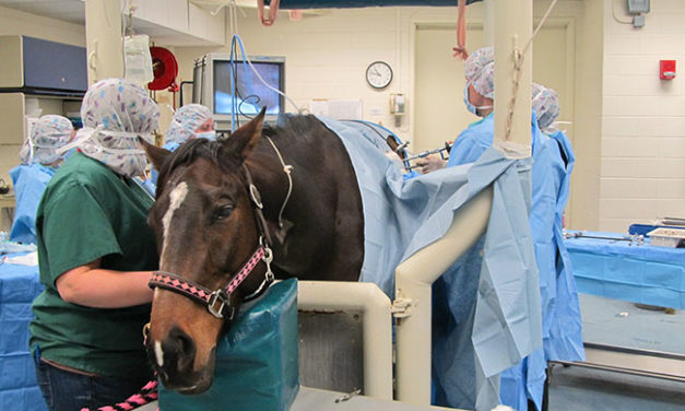 Standing Fast: Standing Surgeries for Horses