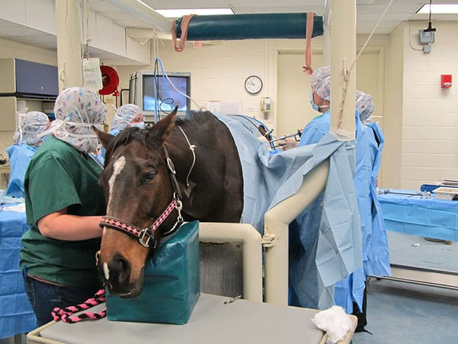 Standing Surgeries for Horses