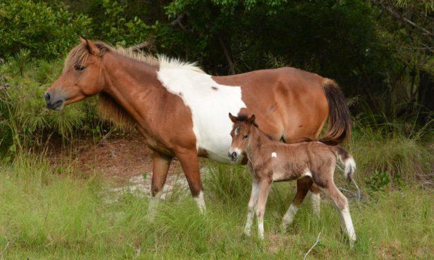 Another Foal Born Into Assateague Wild Horse Herd