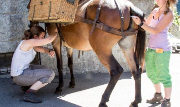 Study: Swiss Pack Mules Handle Strenuous Journeys Well