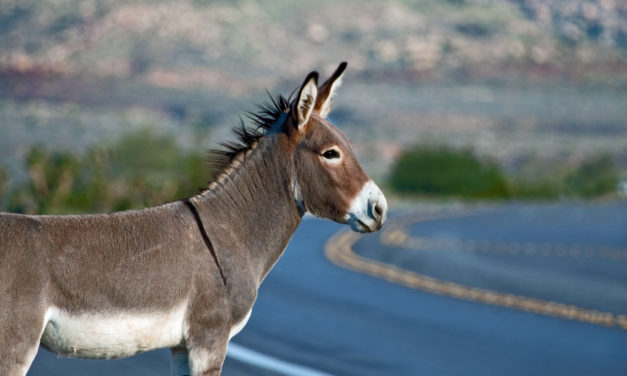 BLM Gathers 188 Burros From Nevada Herd Management Area