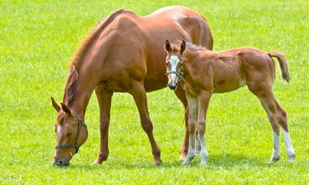 Starch Source's Effect on Broodmares' Fecal Bacteria