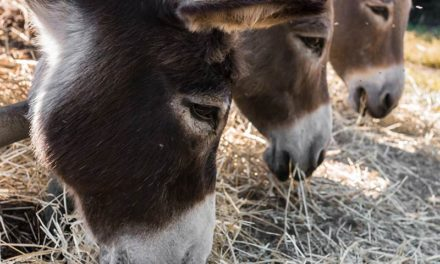 Particular Microbiota Might Make Donkeys Extra-Easy Keepers
