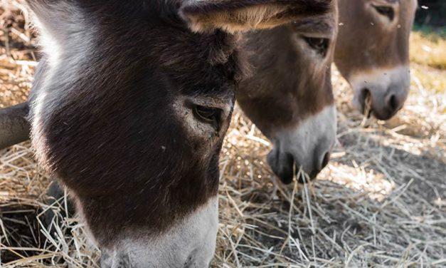 Where Can I Find Barley Straw to Feed My Donkey?