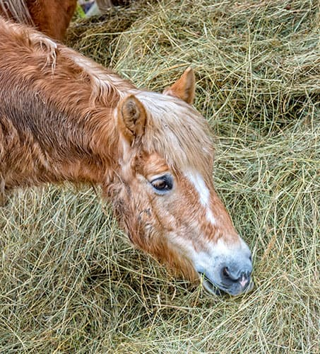 Tips for Meeting a Senior Horse's Nutritional Needs