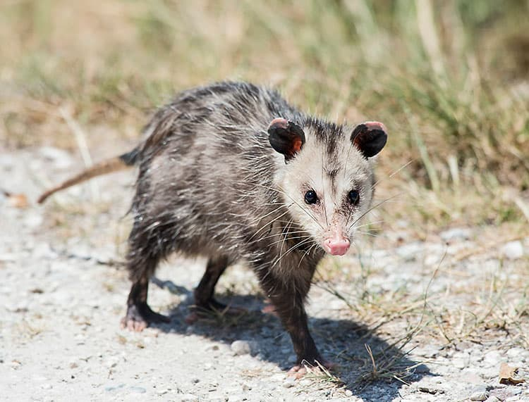 Opossums: The Scourge of a Horse Owner's Existence?