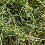 Alfalfa Likely Improves Equine Energy Efficiency