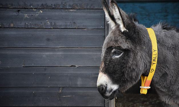 Donkey Skin Trade Threatens Welfare, Populations Worldwide