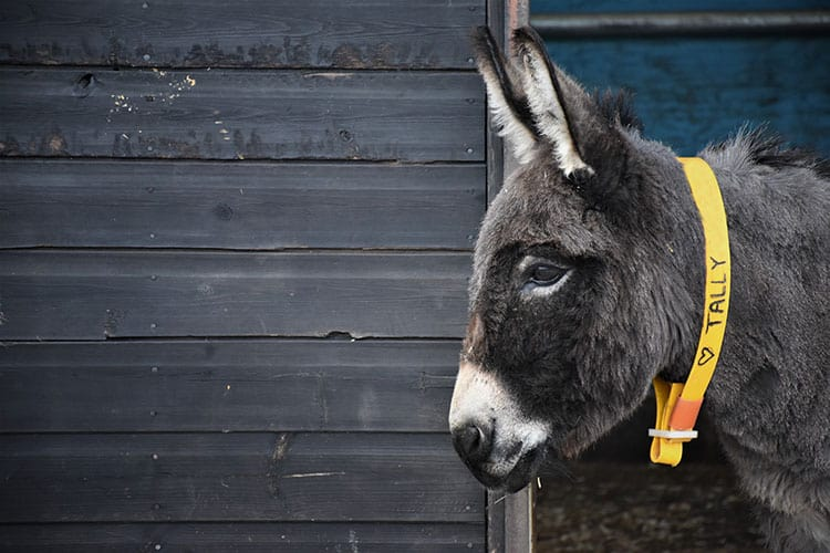 Donkey Skin Trade Threatens Welfare, Populations Worldwide