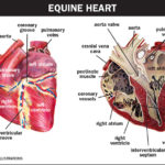 A Quick Look at the Amazing Equine Heart