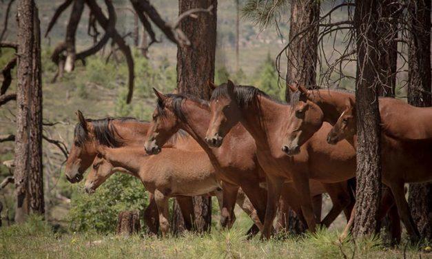 USDA Reveals Heber Wild Horse Management Plan