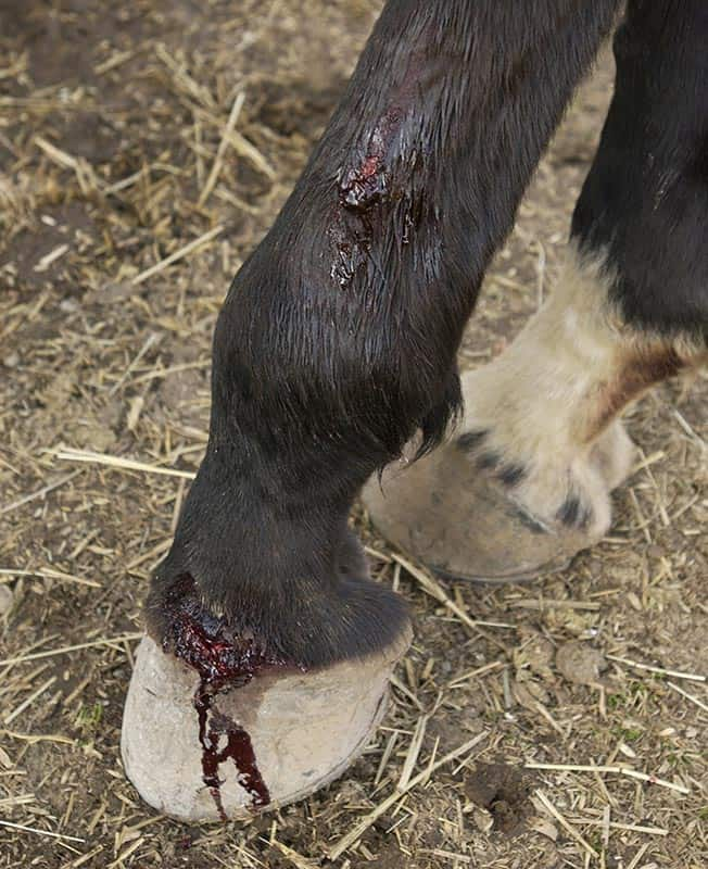 Horse Wounds: How to Know if a Joint is Involved