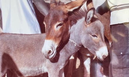 Kenyan Officials Declare Ban on Donkey Slaughter