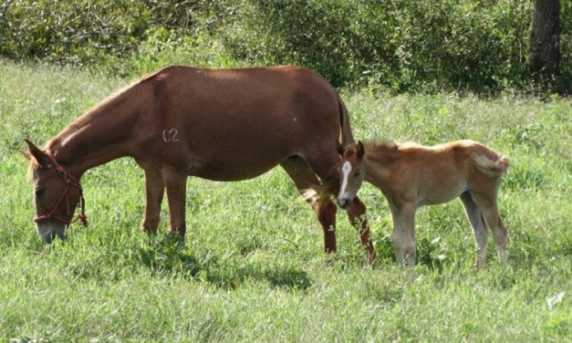 Study: Mules Make Excellent Moms for Equine Embryo Transfer