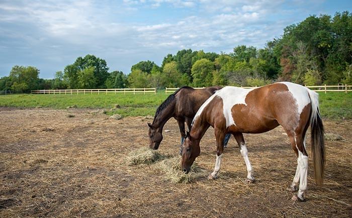 horses eating hay in pasture