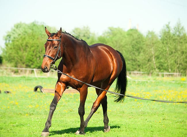 Longeing's Potential Effects on Equine Joints