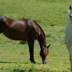 New Therapy Could Combat Persistent Joint Infections in Horses