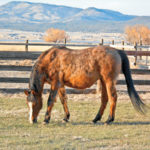 The Crossroads of PPID, Insulin Resistance, and Laminitis