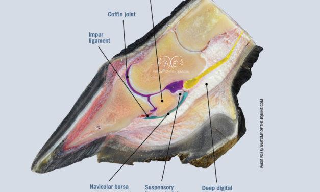 Inside the Equine Navicular Apparatus