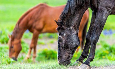 Keeping Laminitic Horses Comfortable