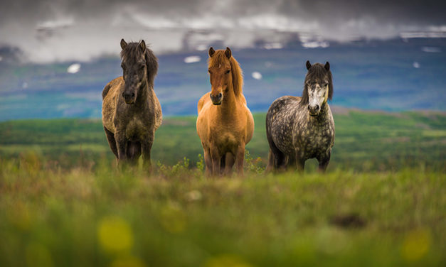 <em>Streptococcus zooepidemicus</em> Infections in Horses