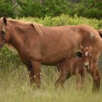 Study: Mare Vocalization Associated With Foal Survival