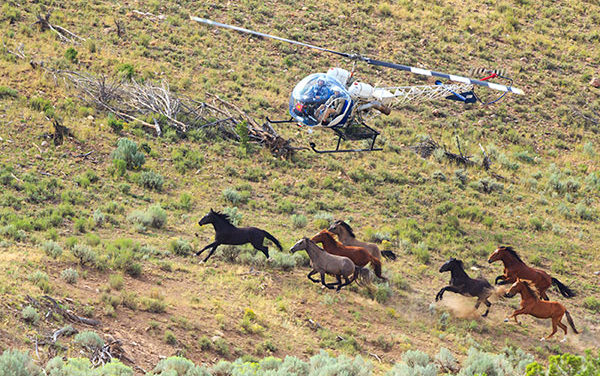 Report: Mustang Helicopter Roundups as Safe as Bait-Trapping