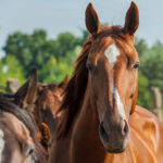 How Sensitive Is Your Horse's Face? New Tools Can Tell You